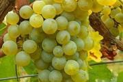 Внимание виноградолюбителей к хранению саженцев