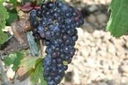 Характерные особенности технических сортов винограда